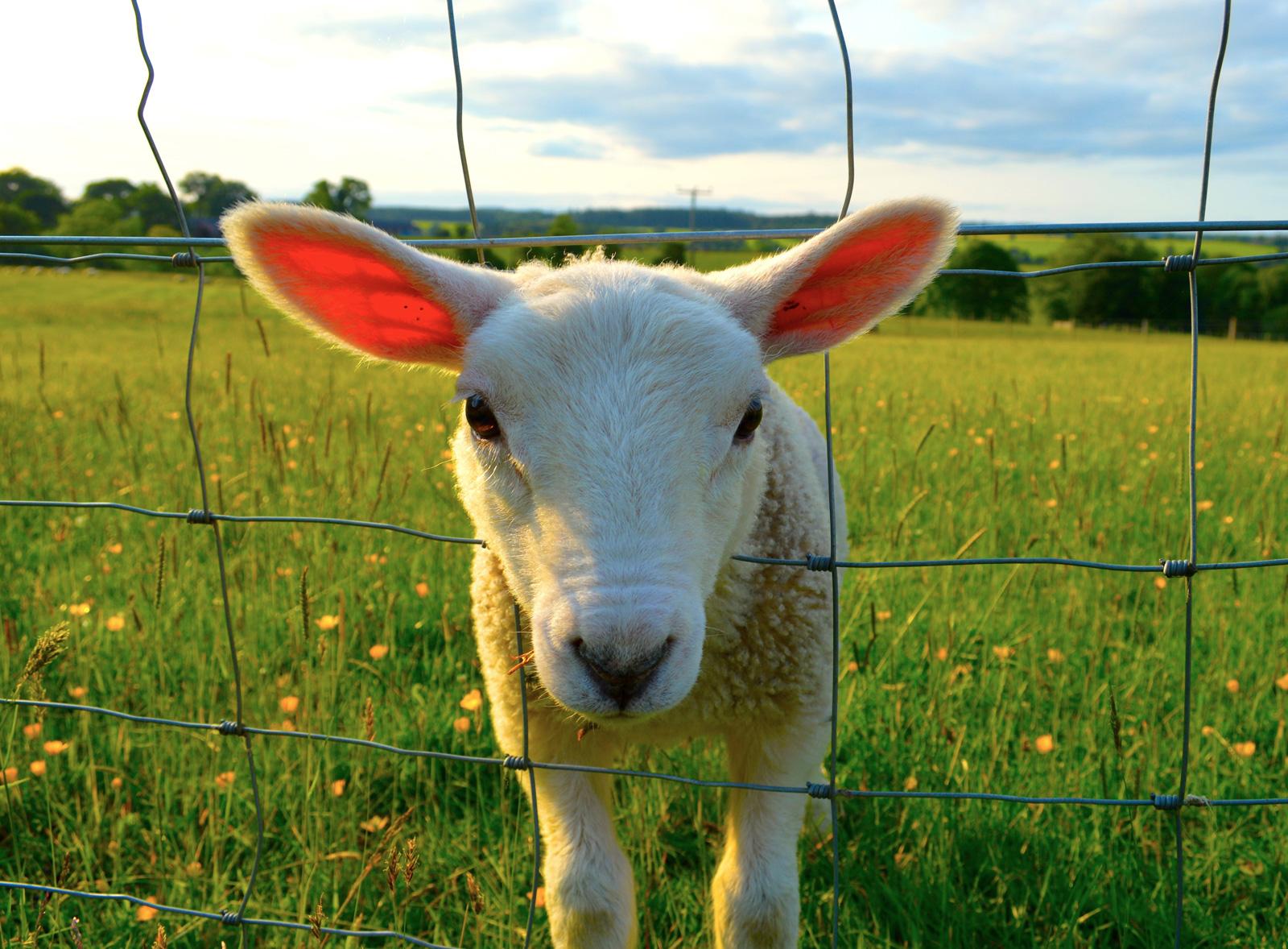 A young lamb